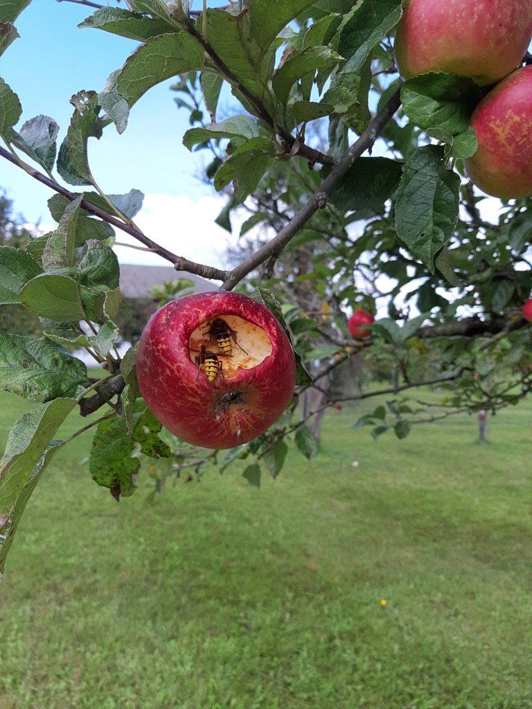 Apfel mit Hornissen bei Fam. Höglinger Mairhof