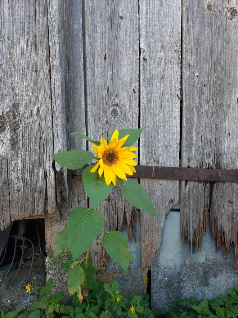 Mini Sonnenblumge bei Fam. Höglinger Mairhof