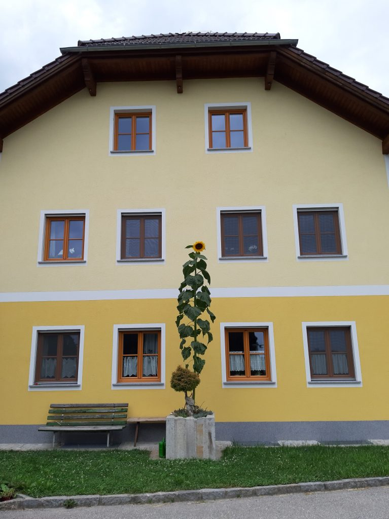 Sonnenblume bei Fam. Höglinger Mairhof